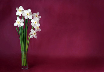 Bouquet of white daffodils on a maroon background