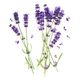 Fototapety lavender flowers isolated on white background