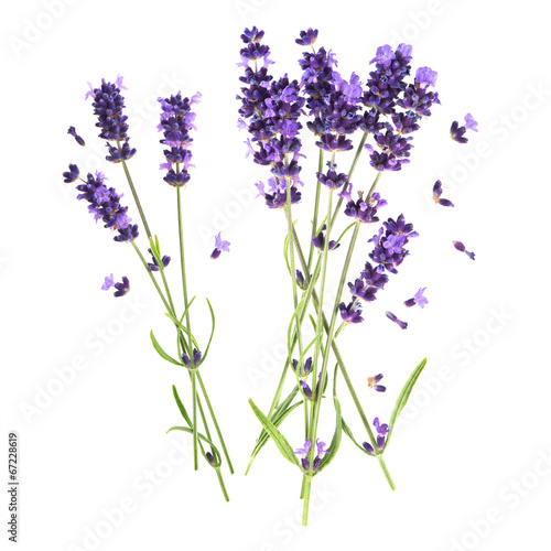 Deurstickers Lavendel lavender flowers isolated on white background