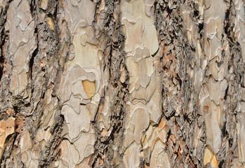 Pine tree cork in bright sunny day