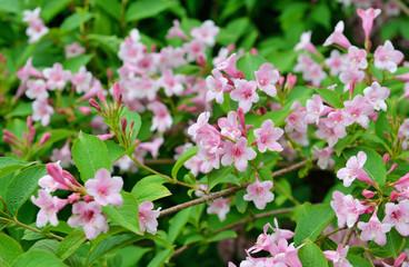 Flowers of Weigela hortensis or Kolkwitzia amabilis