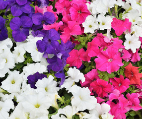 Petunia flowers in a warm summer day closeup image