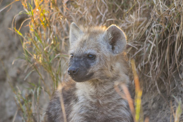 Hyena pup at a den in the wild