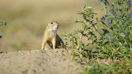 Ground squirrel snuffing and moving on the sandy ground