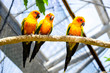 Three Sun Conures