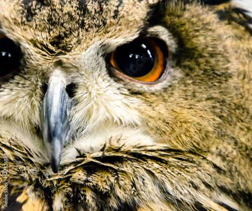 Closeup Owl