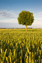 Young plane tree in a wheat field
