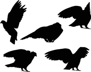 five isolated black pigeons