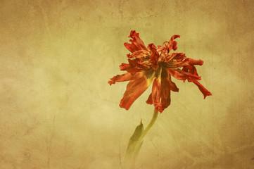 """""""Erinnerung"""" mit vertrockneter, roter Tulpenblüte"""