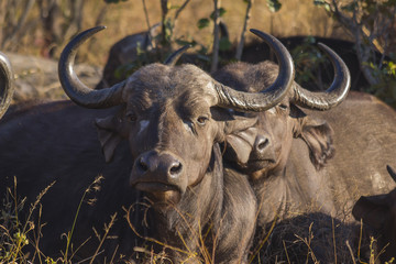 Adult buffalo portrait