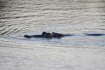 Hippo rising above the surface of the water at dusk