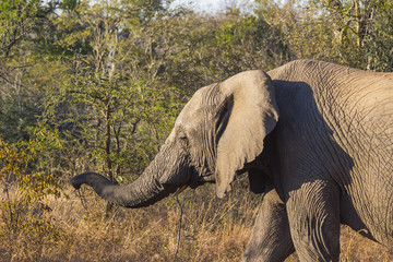Elephant walking in the wild with its trunk extended