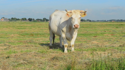 bull standing in meadow