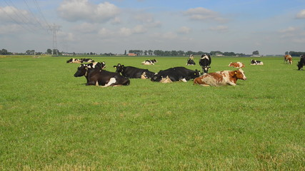 cattle of cows in pasture