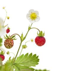 Wild Strawberry Corner