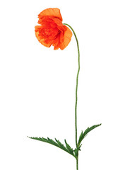 Single poppy flower isolated on white background.