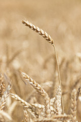 Wheat in the field