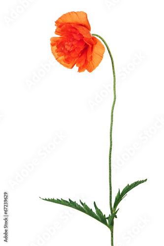 Single poppy flower isolated on white background. - 67239629