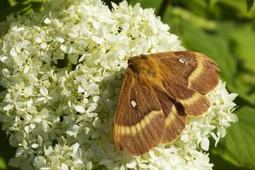 Бабочка Коконопряд дубовый