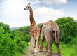 Giraffe and elephant in Kruger park South Africa