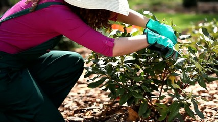Gardener trimming the bushes