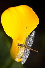 Dragonfly sitting on a  yellow calla lily flower