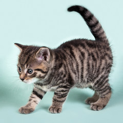 A cute kitten prancing curiosly on a blue backround