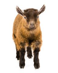 'Titch' the pigmy goat