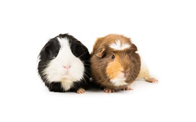 Guinea pig partnership