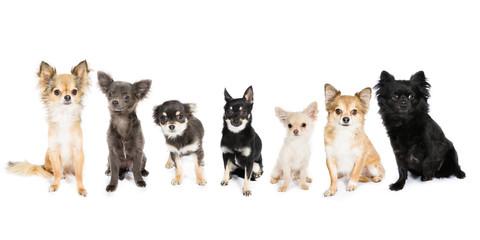 Cheeky Chihuahuas