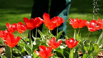Watering red tulips video