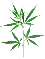 Cannabis plant isolated on white