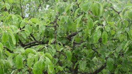 closeup of rain water drops fall on decidious tree twig leaves