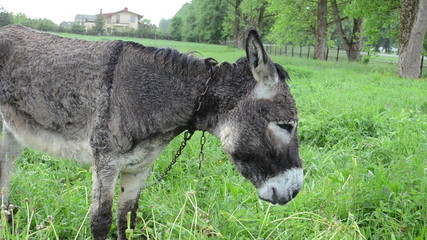 wet donkey animal graze in pasture grass and car go in rain