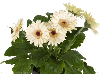 Gerbera white in flowerpot