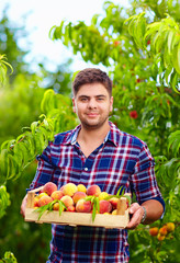 gardener holding a crate of peach fruit, harvesting