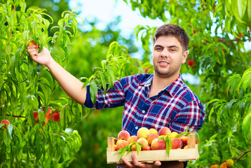 young man harvesting peaches in fruit garden