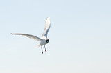 Flying gull (mew, seagull) in the sky poster
