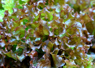 closeup oak lettuce
