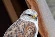 Buteo regalis - Buse rouilleuse - Ferruginous Hawk