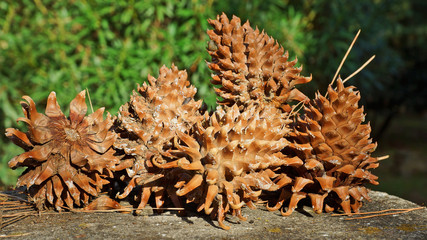 cones conifers