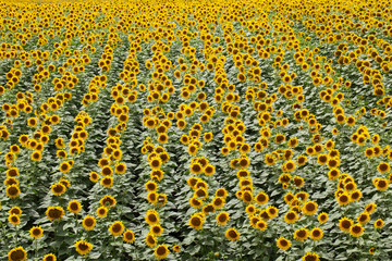 Sunflower plant field in summer