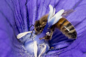 bee collecting pollen inside a flower