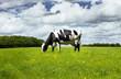 Schwarz-Weiße Kuh auf der Weide