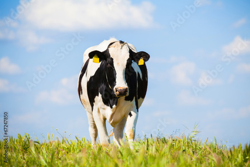 Foto op Canvas Koe Cow at countryside in spring