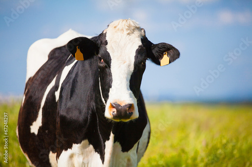 Aluminium Koe Close up Cow at countryside in spring