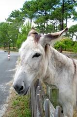 Niedlicher  Esel in Frankreich 1