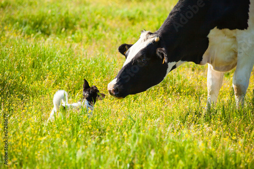 Dog meets a cow at countryside