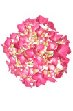 Head pink hydrangea flower isolated on white background