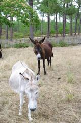Niedliche Esel in Frankreich 1